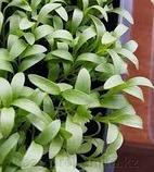 Кориандр  для микрозелени, 100г, фото 2