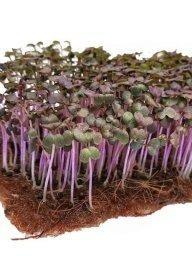Семена микрозелени горчица листовая Фрингед Ред, 1 гр