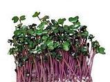 Капуста краснокочанная семена для микрозелени, 100г, фото 2