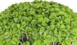 Базилик Итальянский зеленый для микрозелени, 100г