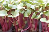 Свекла розовая семена для микрозелени, 100г, фото 2