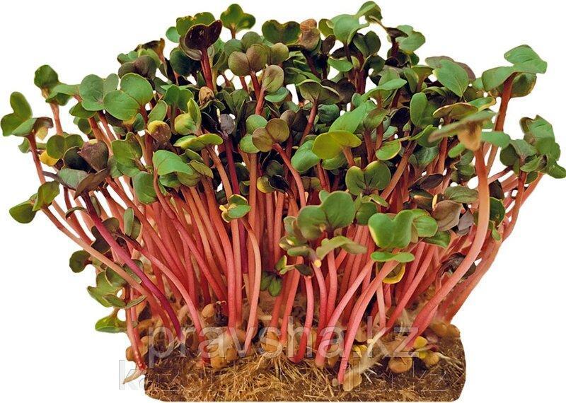 Семена микрозелени редиса Ред Коралл, 5 гр