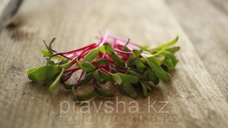 Мангольд семена  для микрозелени, 100г