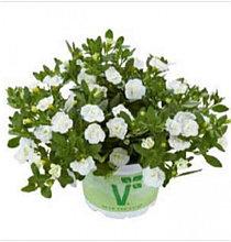 Calita Double Snow №428 / подрощенное растение