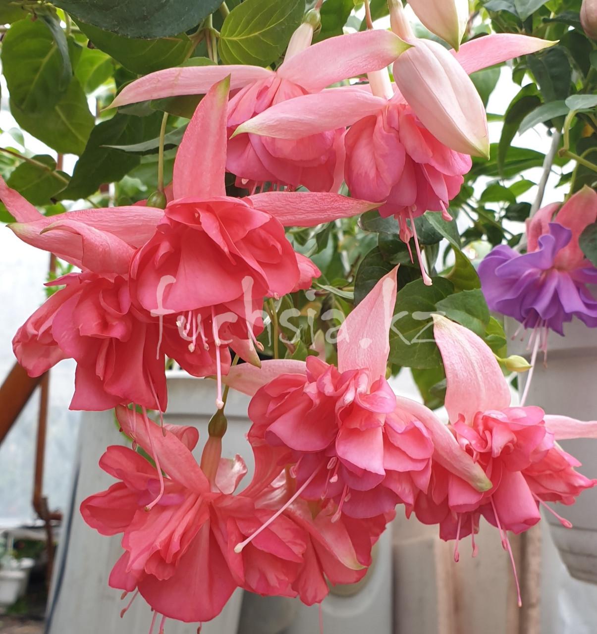 Peachy / подрощенное растение