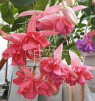 Peachy /подрощенное растение