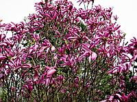 Магнолия гибридная Сьюзан (Magnolia hibrida Susan)