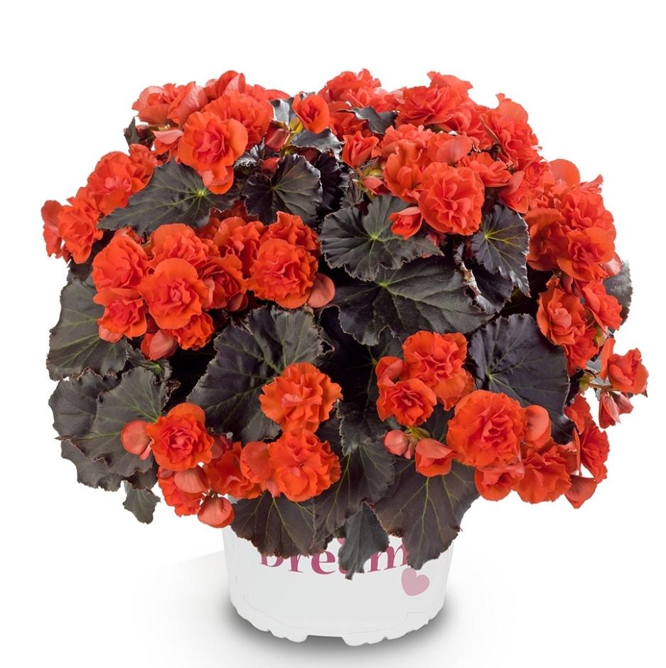 Solenia Chocolate Orange / укор.черенок