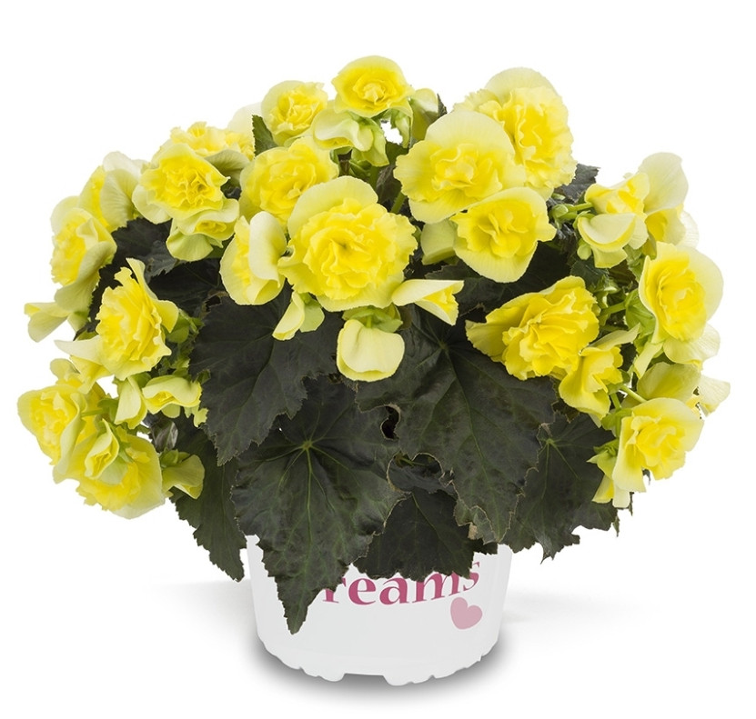 Solenia Yellow N 328 / укор.черенок