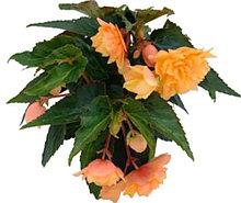 Belleconia Mango / укор.черенок