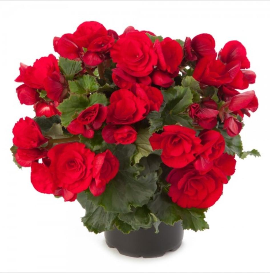 Elatior Berseba Red / укор.черенок