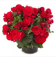 Elatior Berseba Red / подрощенное растение