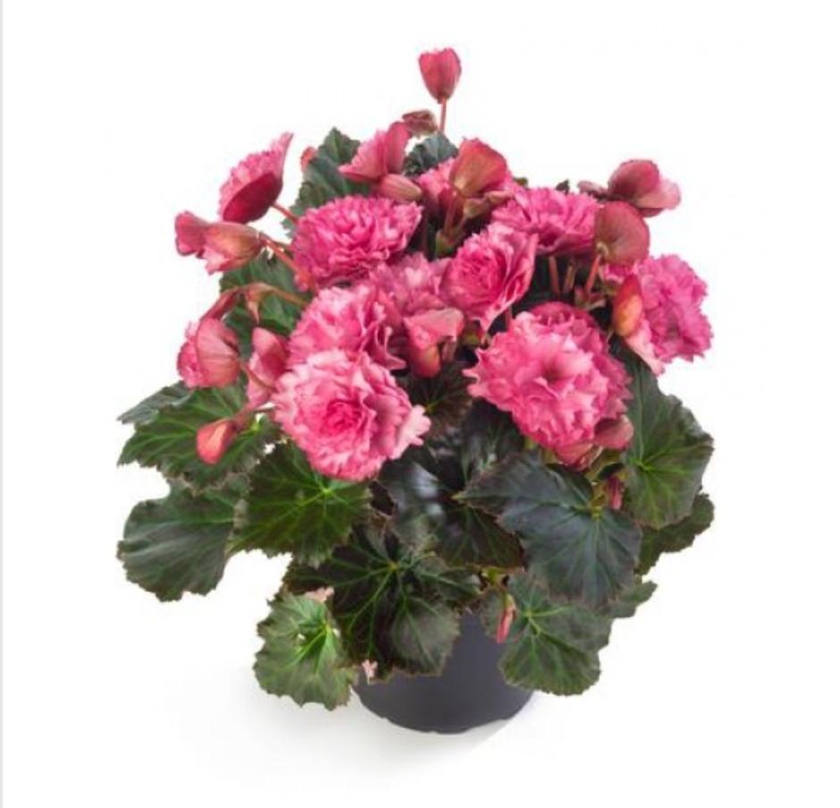 Frivola Pink  N 330