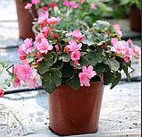 Elatior Glory Pink N332, фото 2