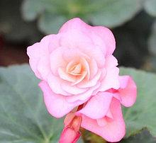 Elatior Glory Pink N332