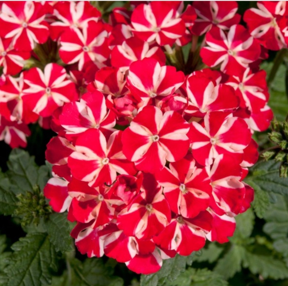 Вербена Estrella Voodoo Red Star / укор.черенок
