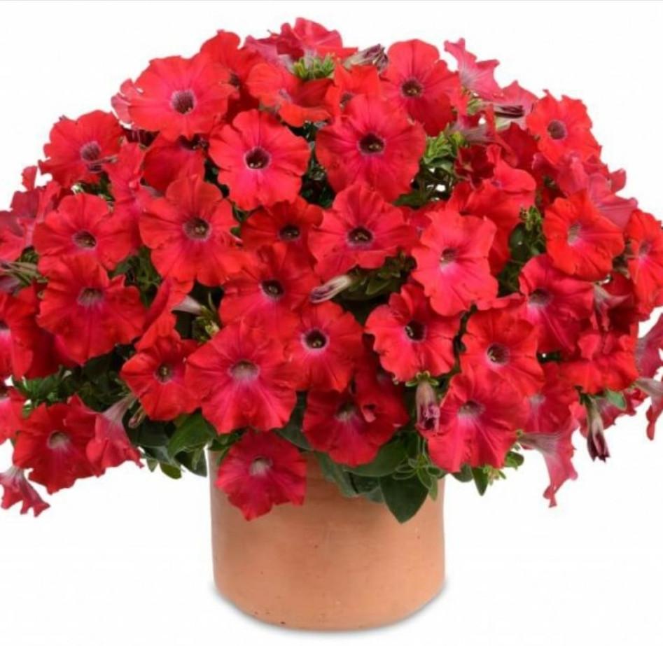 Ray Red №506/ подрощенное растение