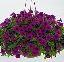 Littletunia Shiraz №548 / подрощенное растение