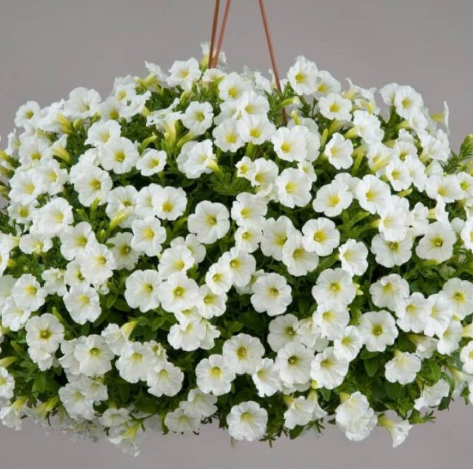 Littletunia White Grace № 546 / подрощенное растение