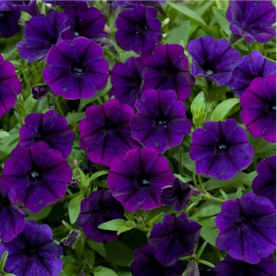 Littletunia Purple Blue № 549/ укор.черенок