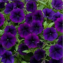 Littletunia Purple Blue № 549/ подрощенное растение