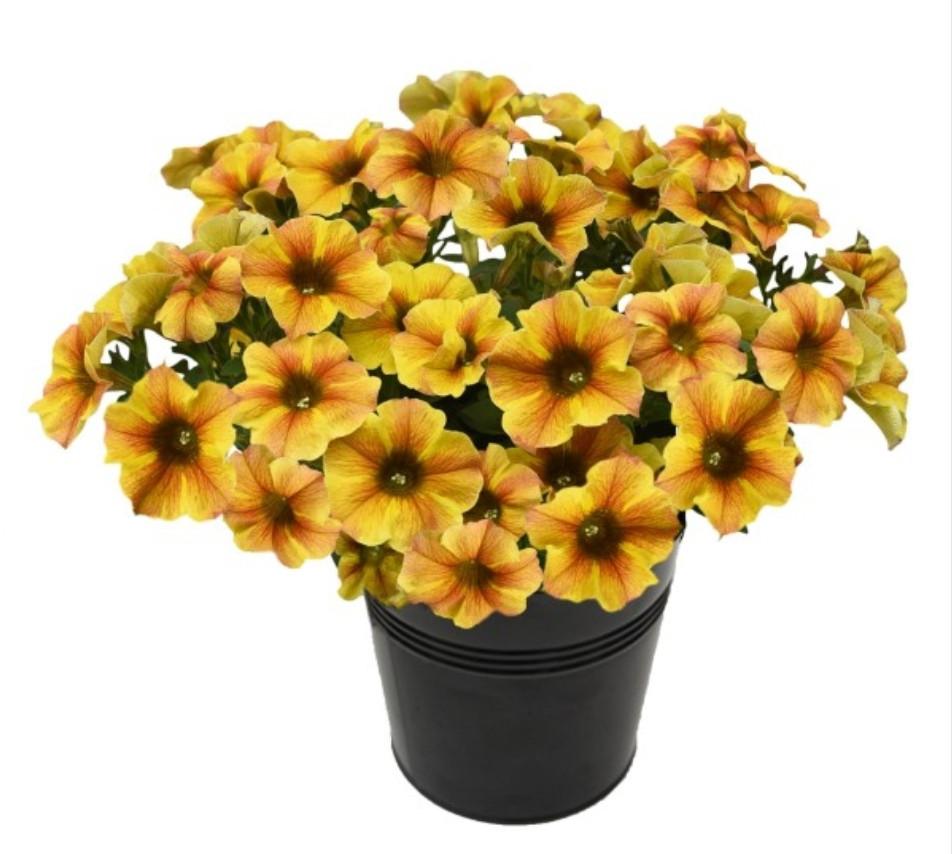 Petchoa Beautical Caramel Yellow №553/ укор.черенок