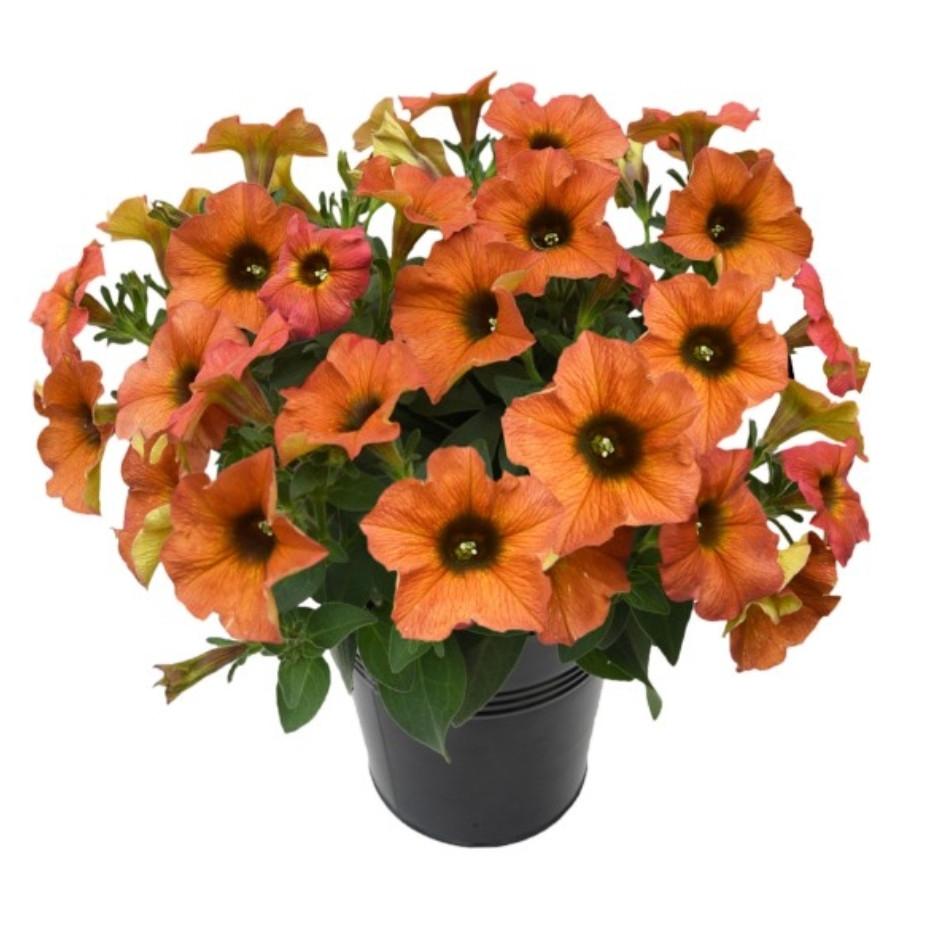 Petchoa Beautical Cinnamon №554 / цветущее растение