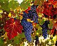 Комплексное удобрение для винограда Органикмикс, фото 2