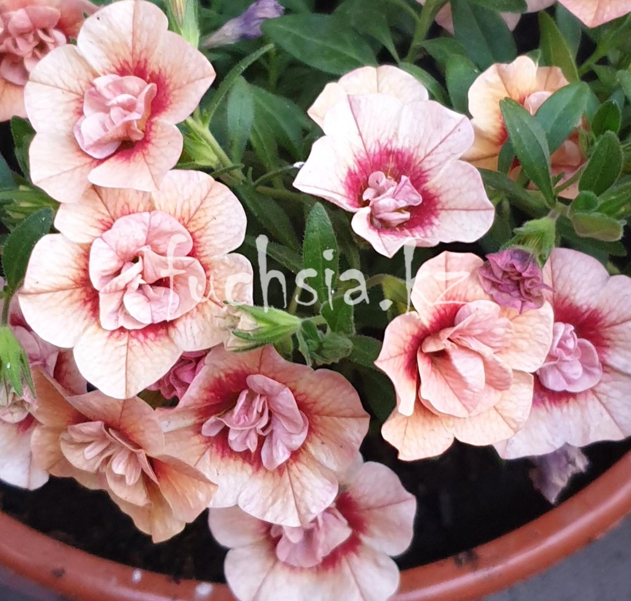 Aloha Double Apricoat  №417 / подрощенное растение