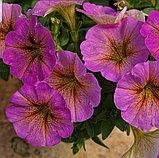 Petchoa Beautical Sunray Pink №557 / укор.черенок, фото 2