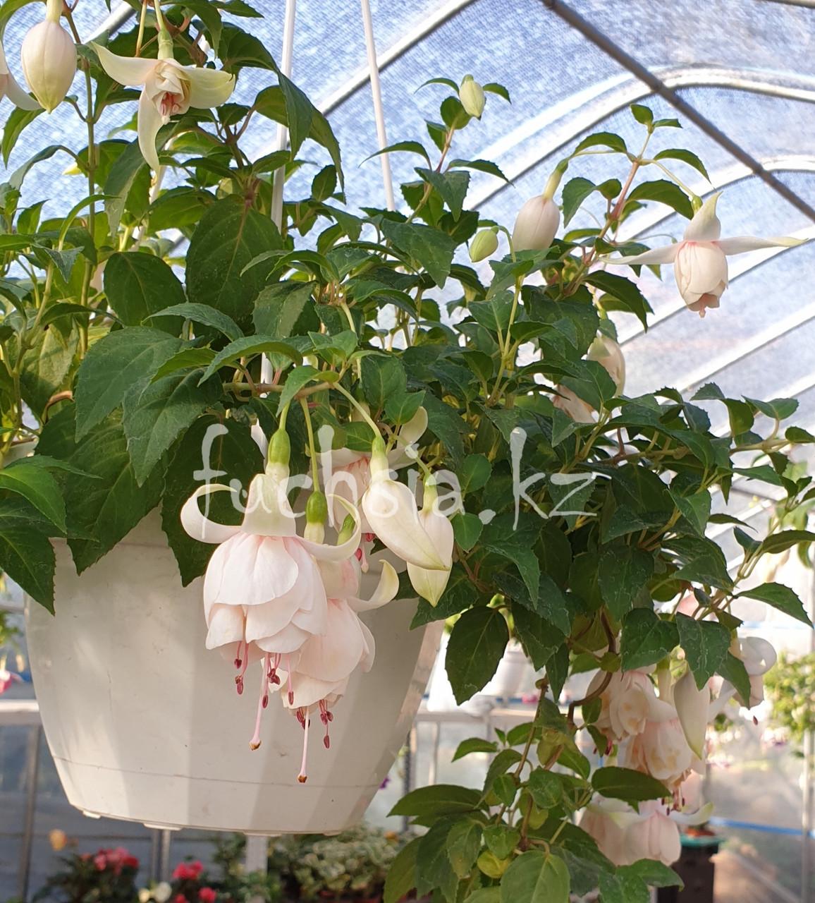 Elsy de Paw / подрощенное растение