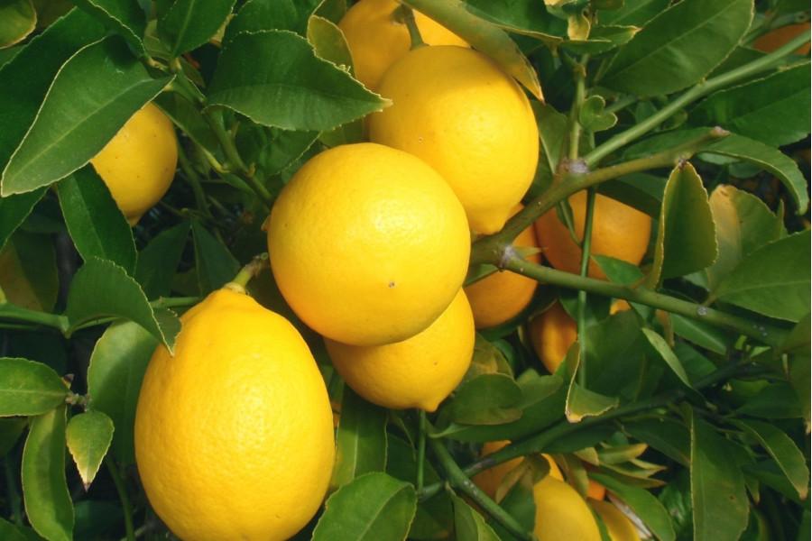 Лимон сорт Мейер 3 года.