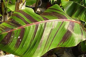 Банан дарджилингский сорт Red Tiger
