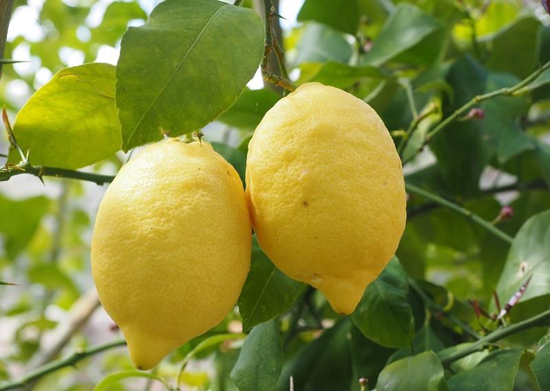 Лимон сорт Мир