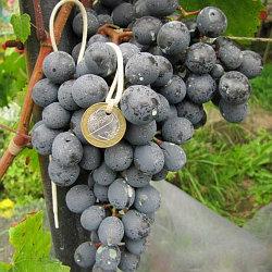 Виноград сорт Агат Донской