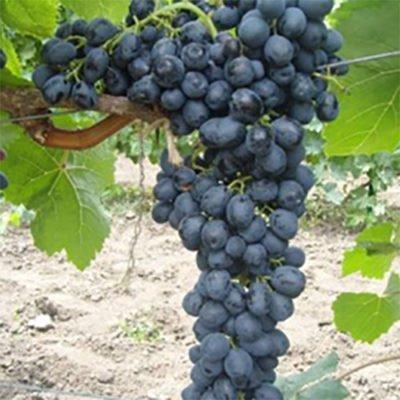 Виноград сорт Аттика