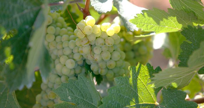Виноград сорт Галан