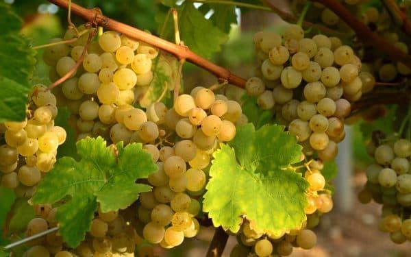 Виноград сорт Ливия розовый ранний