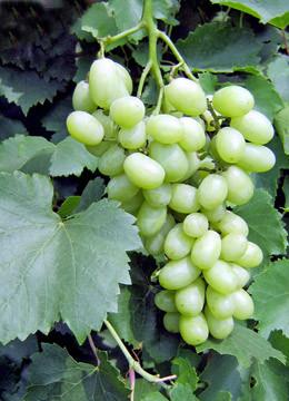 Виноград сорт Лора Флора