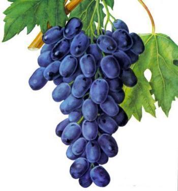 Виноград сорт Победа