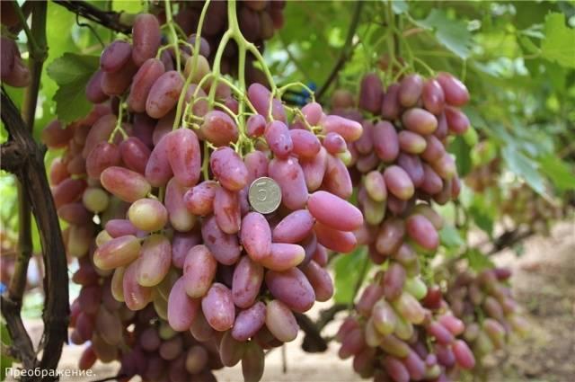 Виноград сорт Преображение