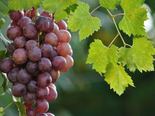 Виноград сорт Фараон