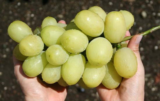 Виноград сорт Tian Shan ТЯНЬ-ШАНЬ