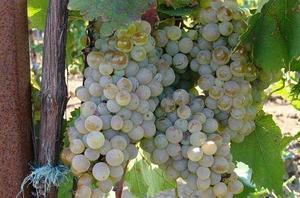 Виноград сорт Голодриги