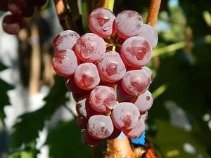 Виноград сорт Диамант
