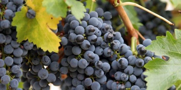Виноград сорт Мускат черный