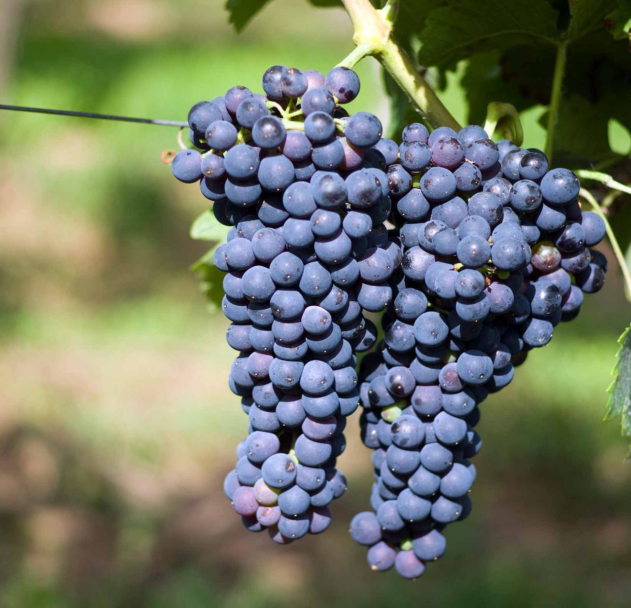 Виноград сорт Шираз Сира