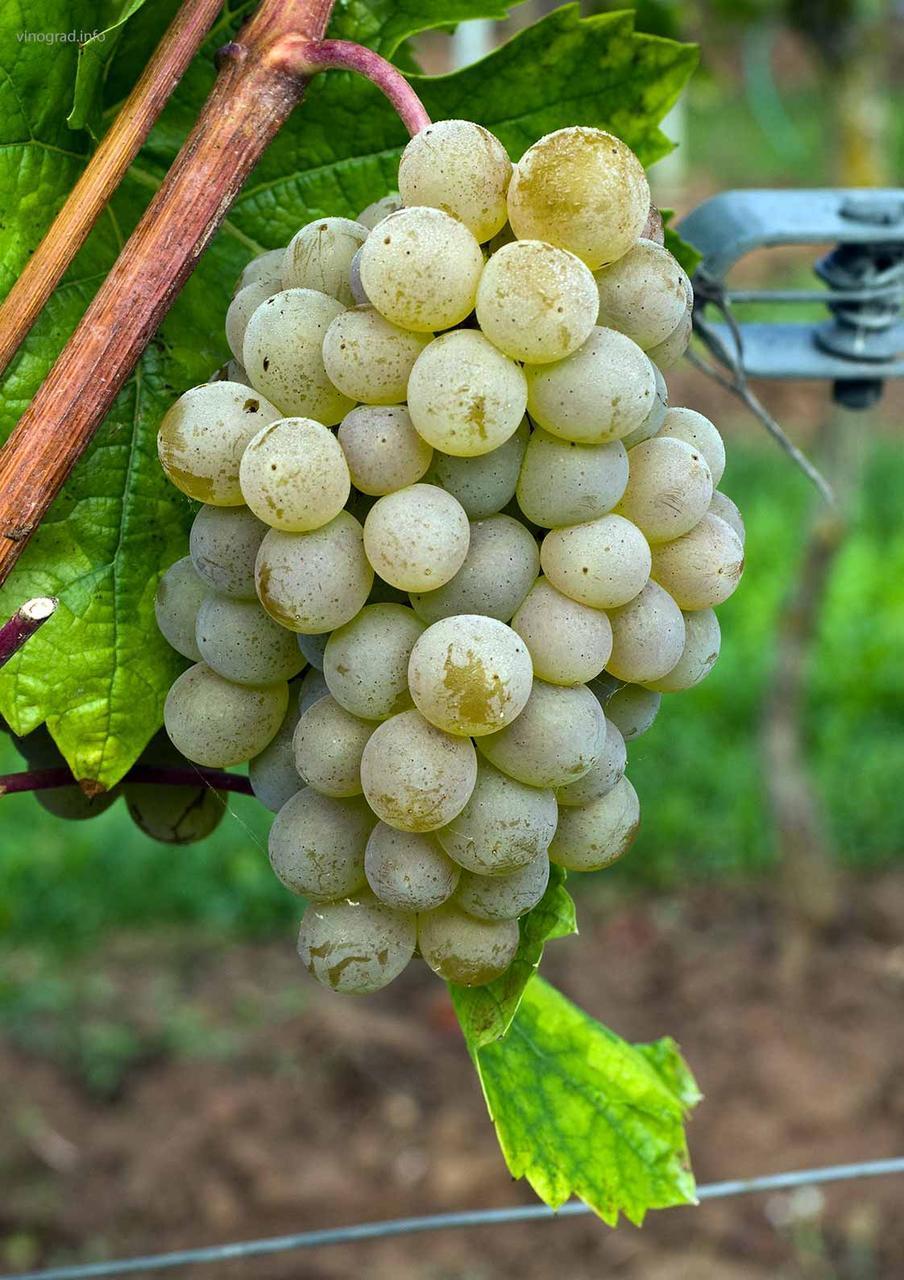 Виноград сорт Кристалл