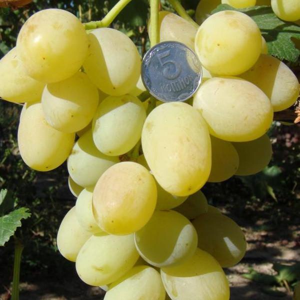 Виноград сорт Ландыш