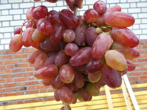Виноград сорт Юлиан
